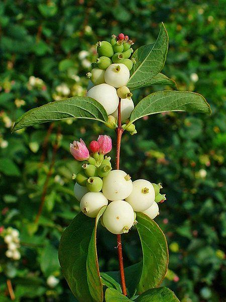 common snowberry